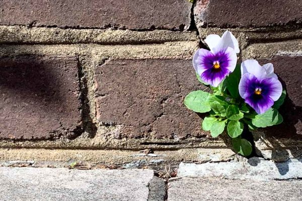 Pansy growing out of the cracks